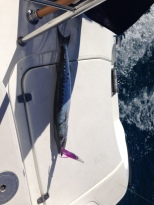 The first marlin we caught that Stewart threw back into the sea.
