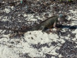 Bahamian Iguanas - these can only be found on Allen's and Leaf Cay.