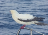 A red Footed Booby. Decided we were home for 24hrs. Parked up at the front of the boat, occasionally went fishing, shat everywhere and slept a lot