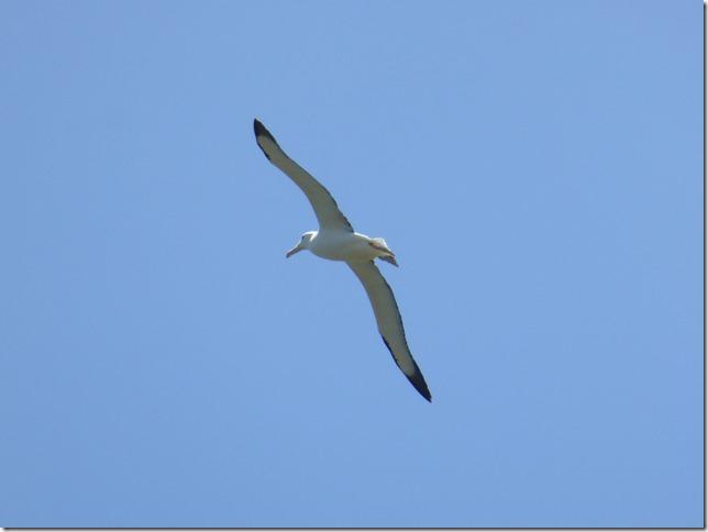 Steampunk, Dunedin and Albatross